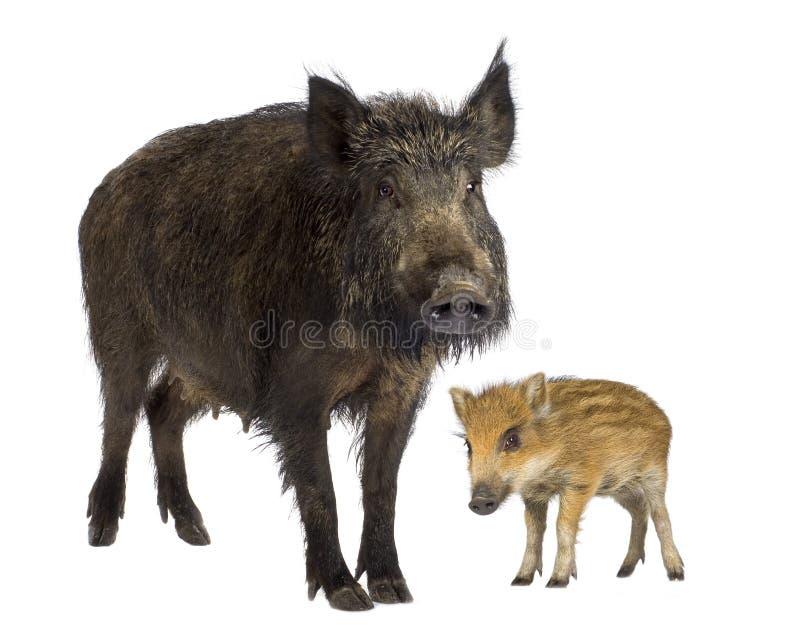 公猪通配她的小猪 库存图片