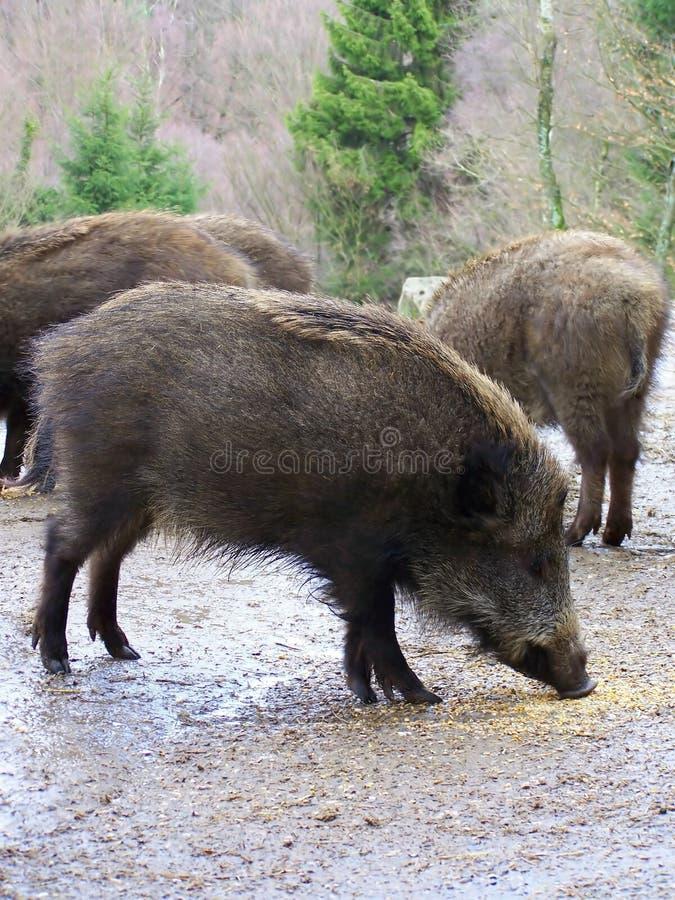公猪 免版税库存图片