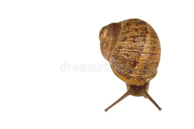 公用欧洲棕色蜗牛 库存照片