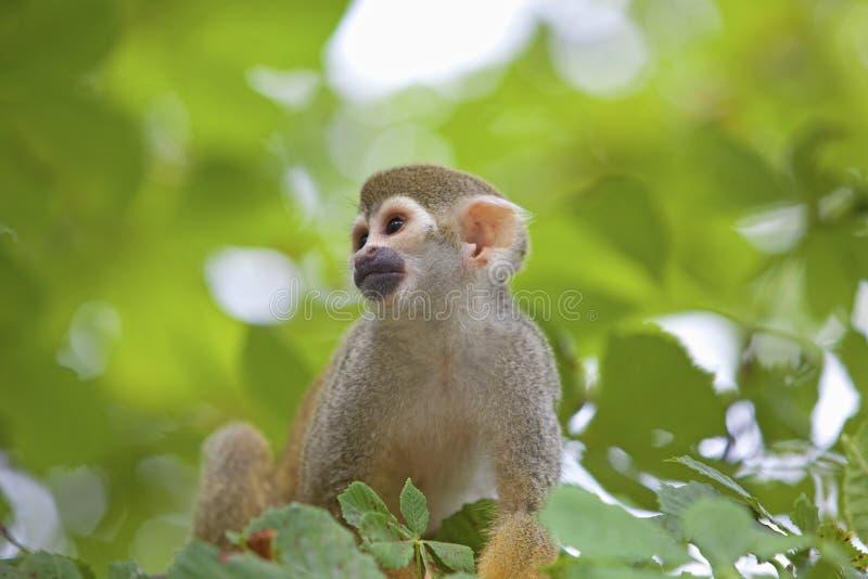 公用猴子灰鼠 免版税库存照片