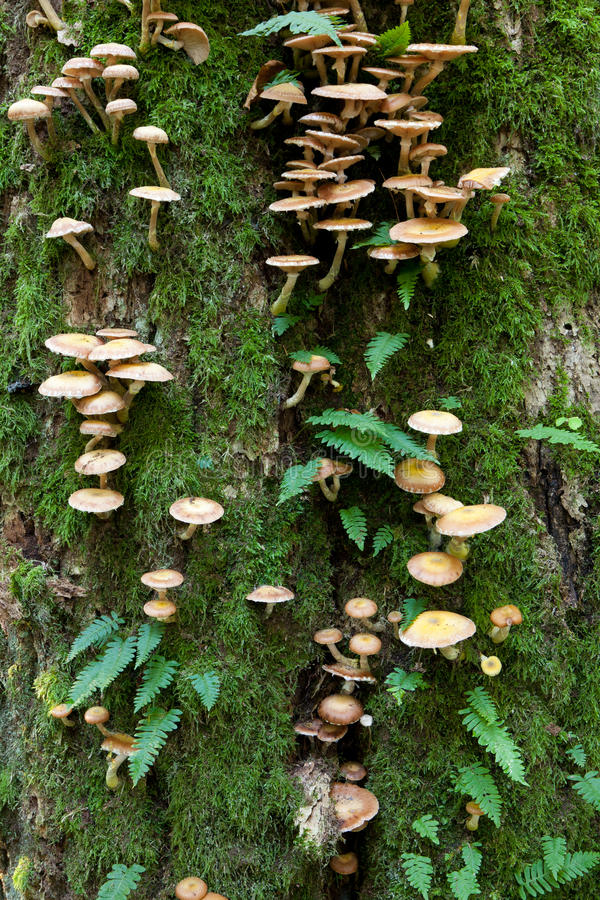 公用蕨真菌橡木水龙骨属植物结构树 免版税库存图片