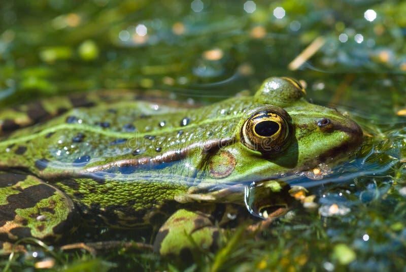 公用青蛙水 库存图片