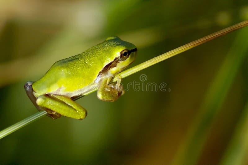 公用青蛙结构树 免版税图库摄影