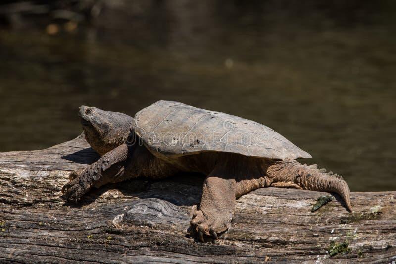 公用鳄龟 库存图片