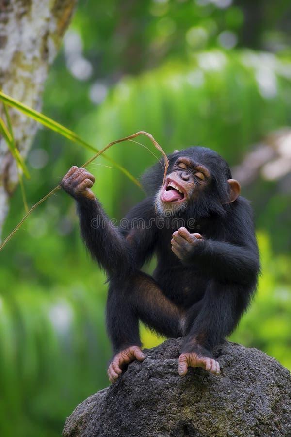 公用黑猩猩 免版税库存照片
