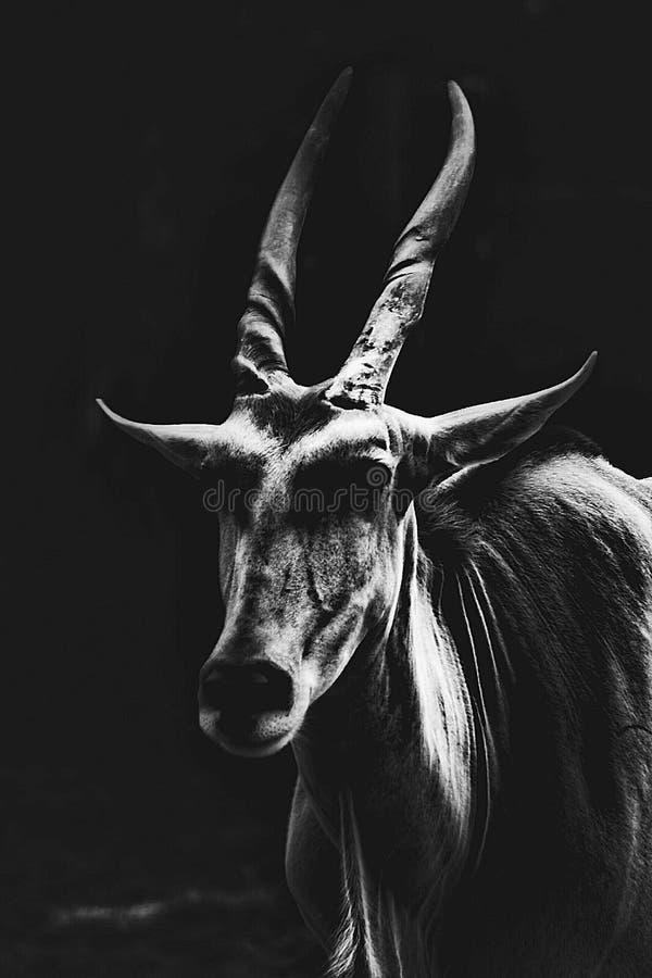 公用eland 免版税库存照片