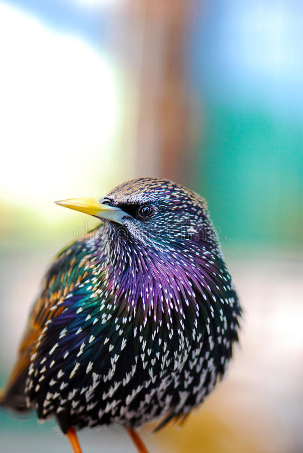 公用starling 免版税图库摄影