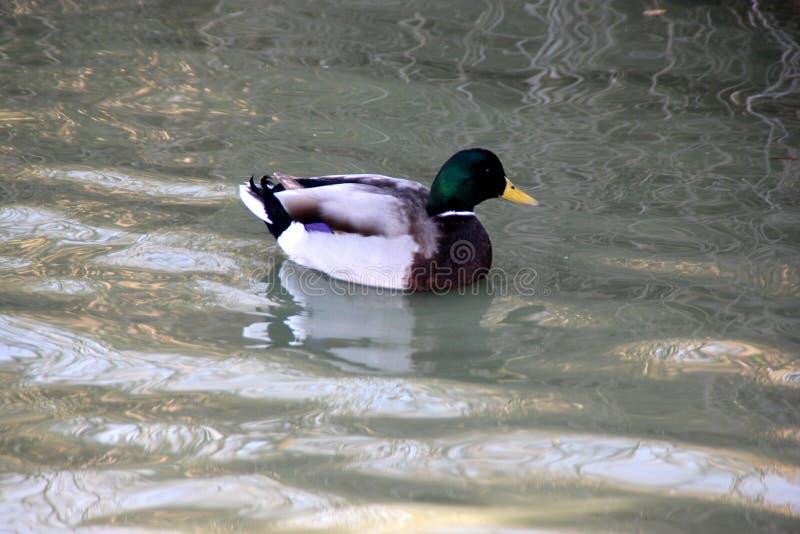 公野鸭鸭子,语录platyrhynchos 库存图片