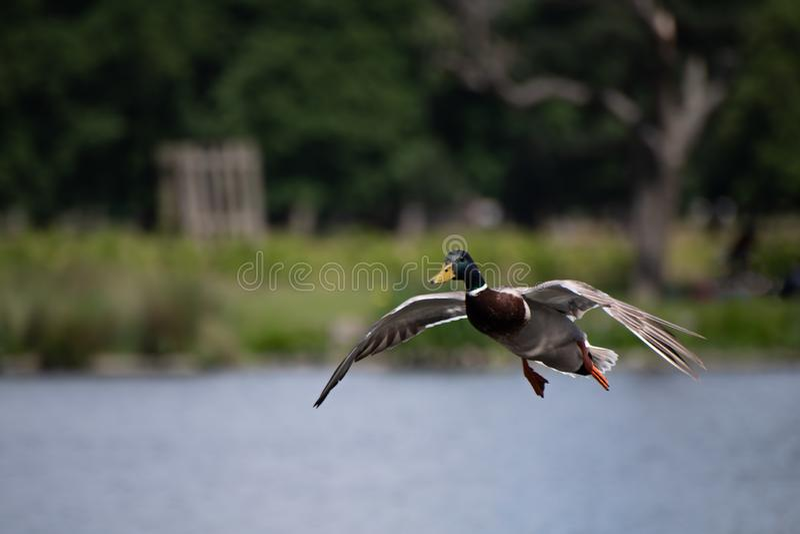公野鸭鸭子 库存照片