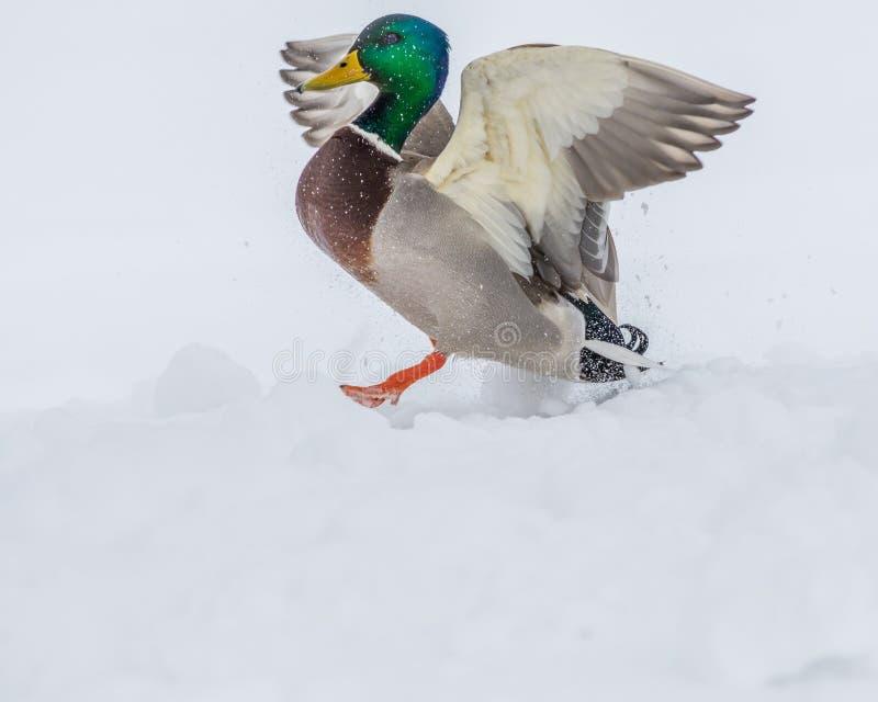 公野鸭鸭子 库存图片