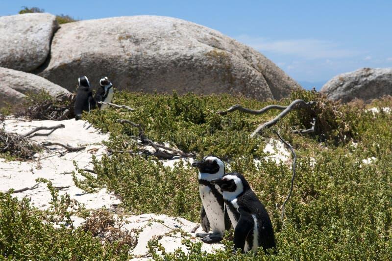 公驴企鹅 免版税库存图片