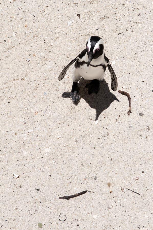 公驴企鹅 库存照片