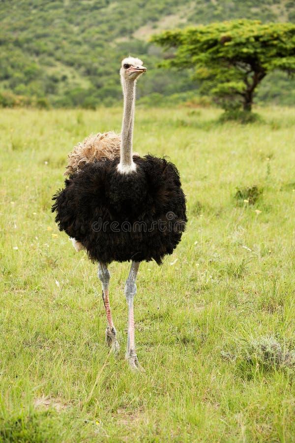 公驼鸟 免版税库存照片