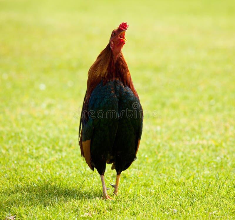 公鸡通配的考艾岛 库存图片