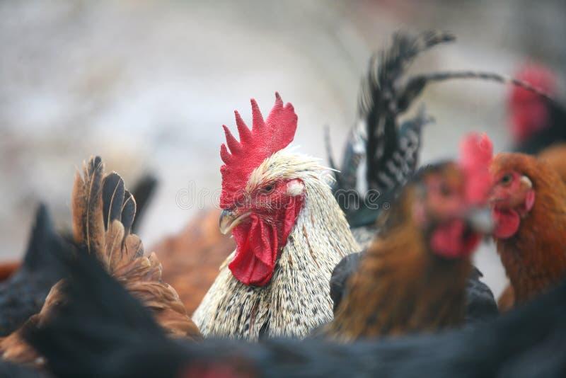 公鸡o结构 库存图片