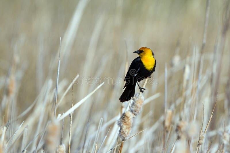 公黄色带头的黑鹂在香蒲在春天栖息在Alamosa全国野生生物保护区在科罗拉多 库存图片