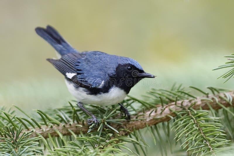 公黑红喉刺莺的蓝色鸣鸟在一白云杉branc栖息 库存图片