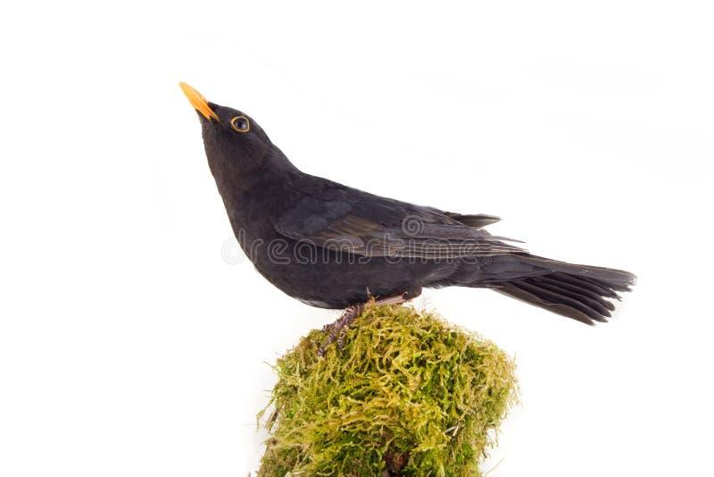 公黑鹂 生苔木荆棘 库存图片