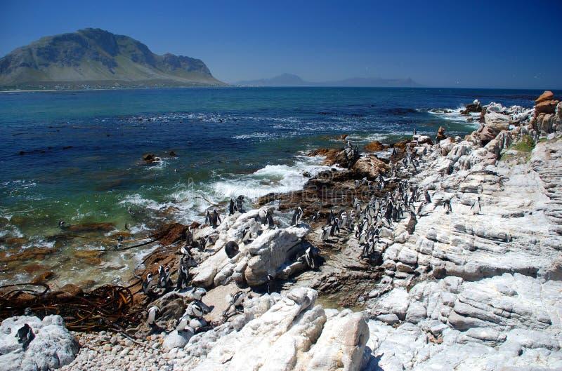 公驴企鹅自然保护 海湾贝蒂s 西开普省,南非 免版税库存图片