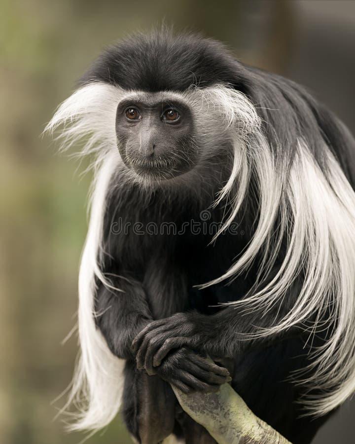 疣猴猴子 免版税库存图片