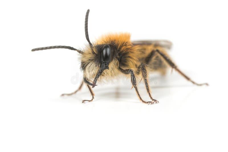 公Andrena米宁蜂 库存图片