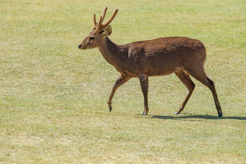 公eld ` s鹿, thamin,在绿草的眉头鹿角的鹿调遣 免版税库存图片