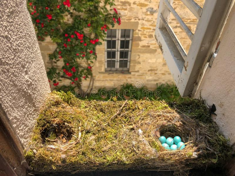 六个小鸟蓝色鸡蛋的大巢 免版税库存图片
