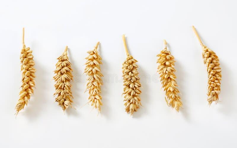 六个麦子耳朵 免版税图库摄影