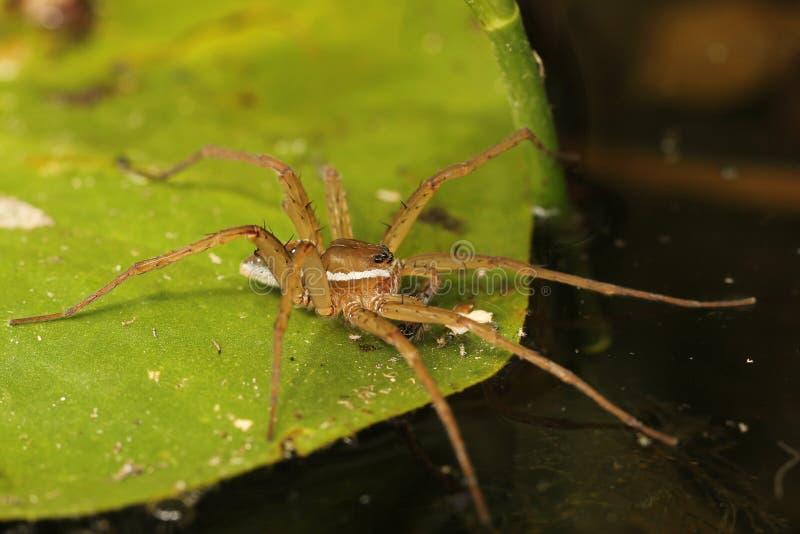 六察觉钓鱼在睡莲叶的蜘蛛 库存照片
