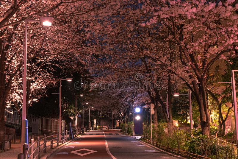 六本木Sakurazaka,东京,日本- 2018年3月26日:开花在六本木Sakurazaka,东京,日本的樱桃 免版税库存照片