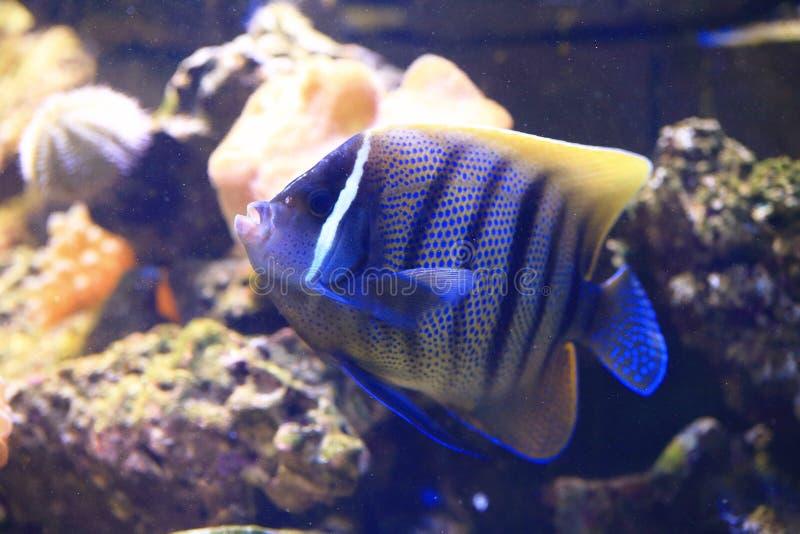 六条酒吧神仙鱼(Pomacanthus sexstriatus) 免版税库存图片