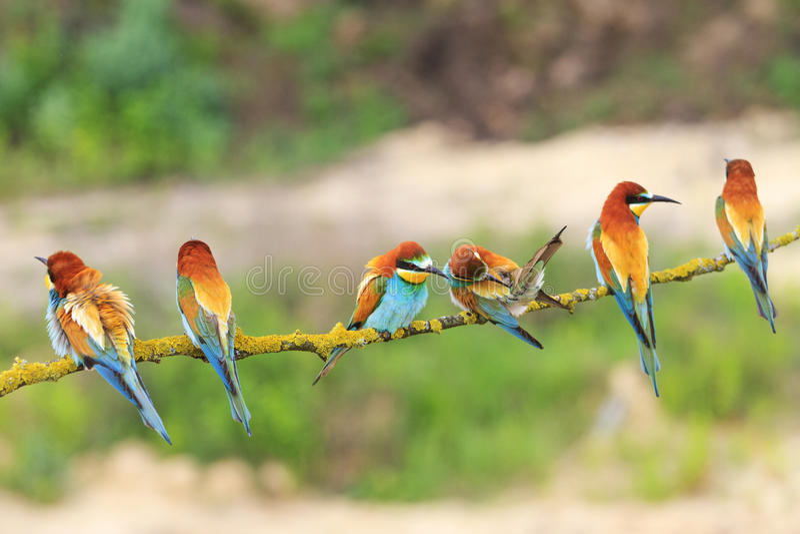 六群欧洲食蜂鸟,食蜂鸟属Apiaster,坐分支 免版税库存图片
