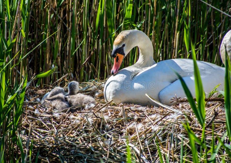 兰开夏郡鲁福德附近的天鹅和西涅茨 免版税库存照片