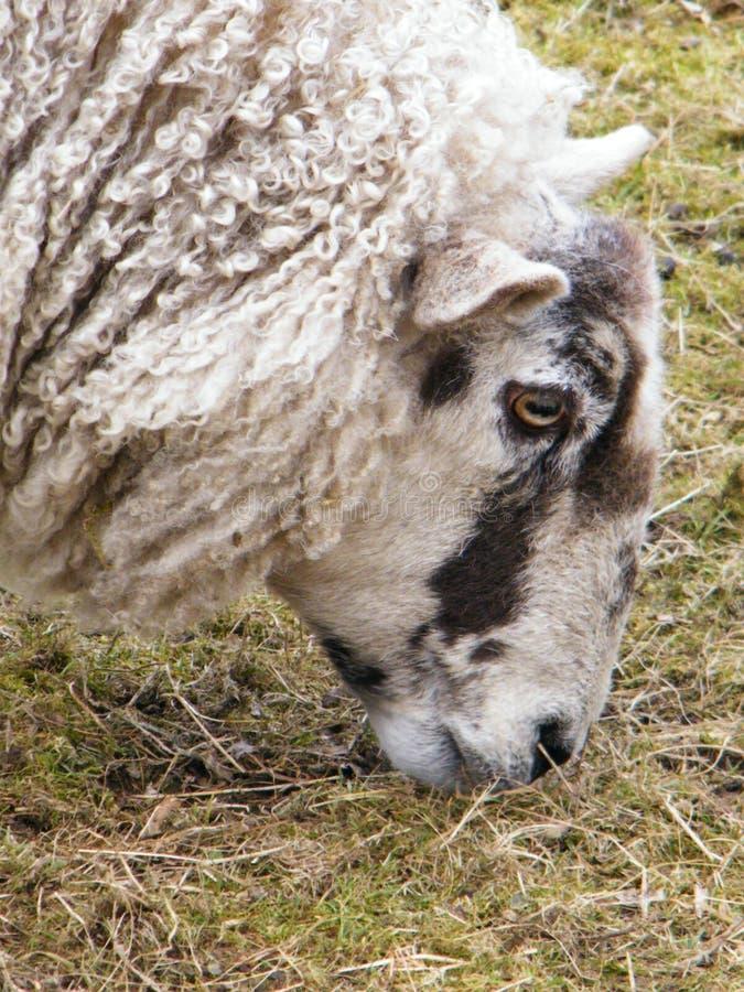 兰开夏郡绵羊 库存图片