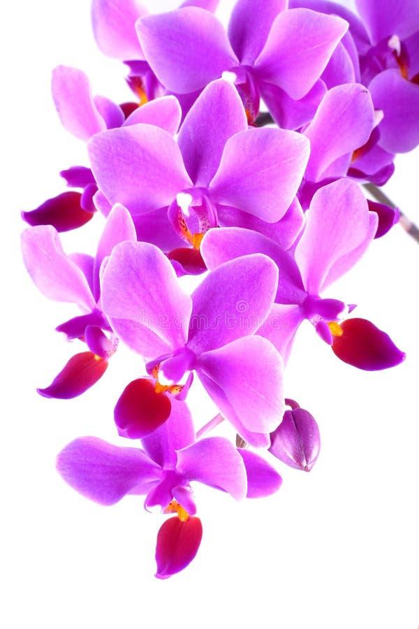 兰花兰花植物粉红色 免版税图库摄影
