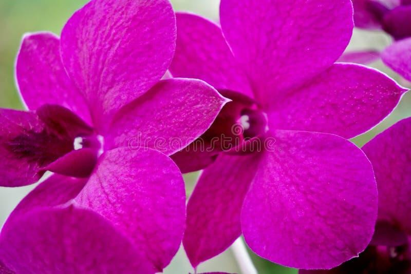 兰花在多雨玻璃,紫罗兰色鲜花,桃红色花,花在窗口里,桃红色兰花,令人惊讶的兰花,紫罗兰的窗口里 库存图片