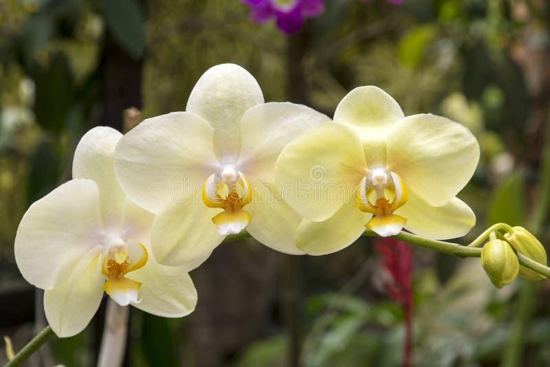 兰花在热带 库存照片