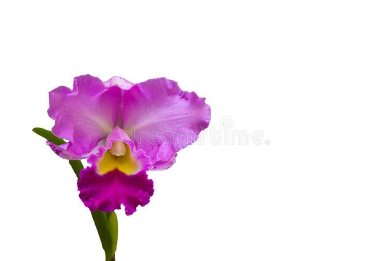 兰花是一有美丽的花的植物在白色backgro 免版税库存照片