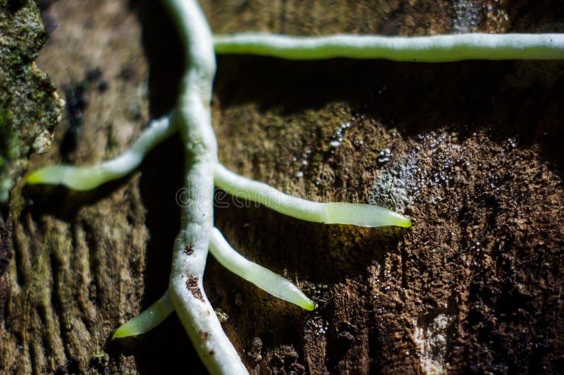 兰花根在韧皮部的,看起来象路 库存照片