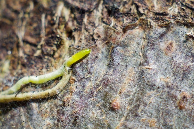 兰花根在韧皮部的 库存图片