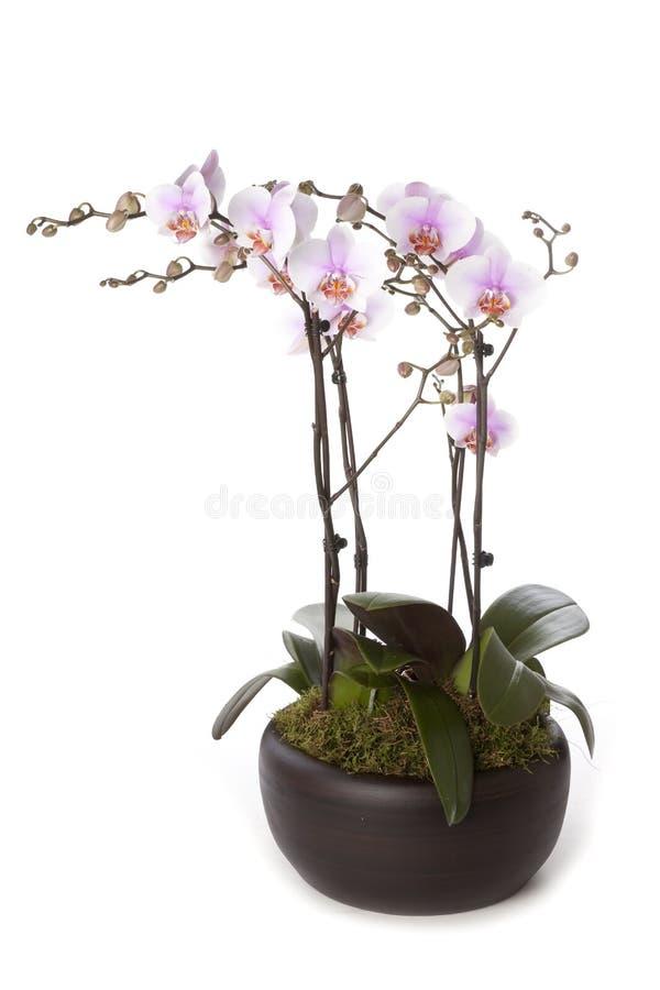 兰花植物兰花表装饰 免版税库存图片