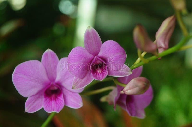 兰花植物花打开,耀眼地美丽 免版税库存图片