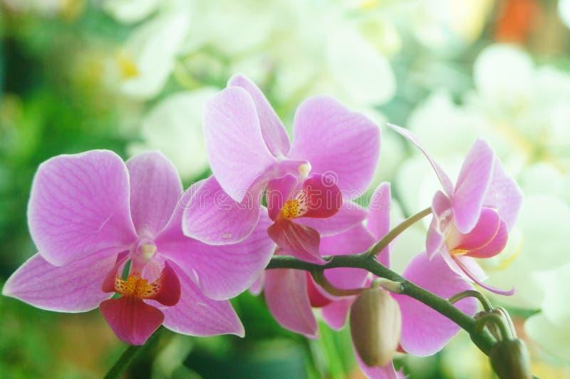 兰花植物花打开,耀眼地美丽 库存图片