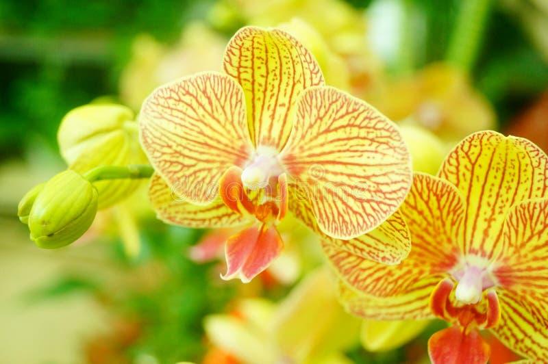 兰花植物花打开,耀眼地美丽 免版税图库摄影