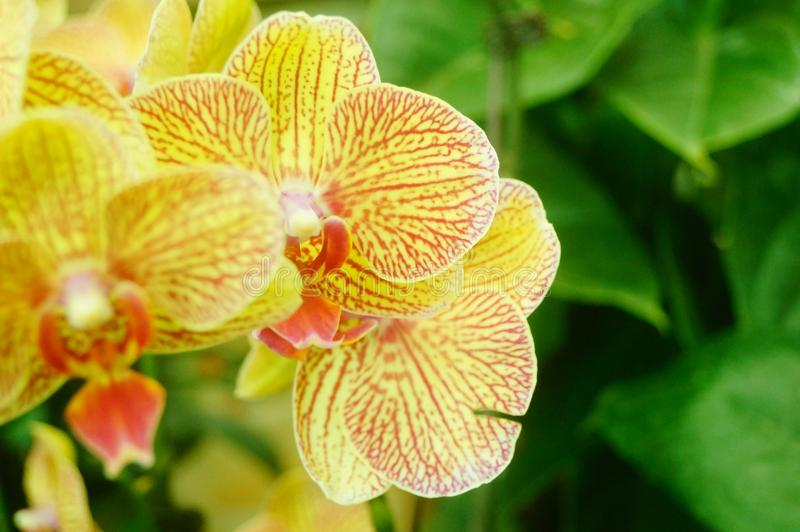 兰花植物花打开,耀眼地美丽 库存照片
