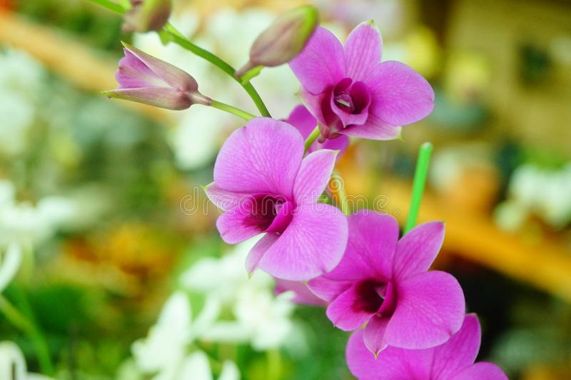 兰花植物花打开,耀眼地美丽 免版税库存照片