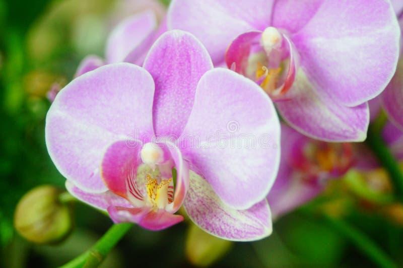 兰花植物花打开,耀眼地美丽 图库摄影