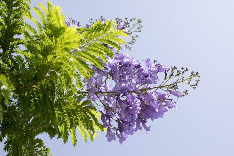 兰花楹属植物在绽放的mimosifolia树与惊人的蓝色紫罗兰色花 库存照片