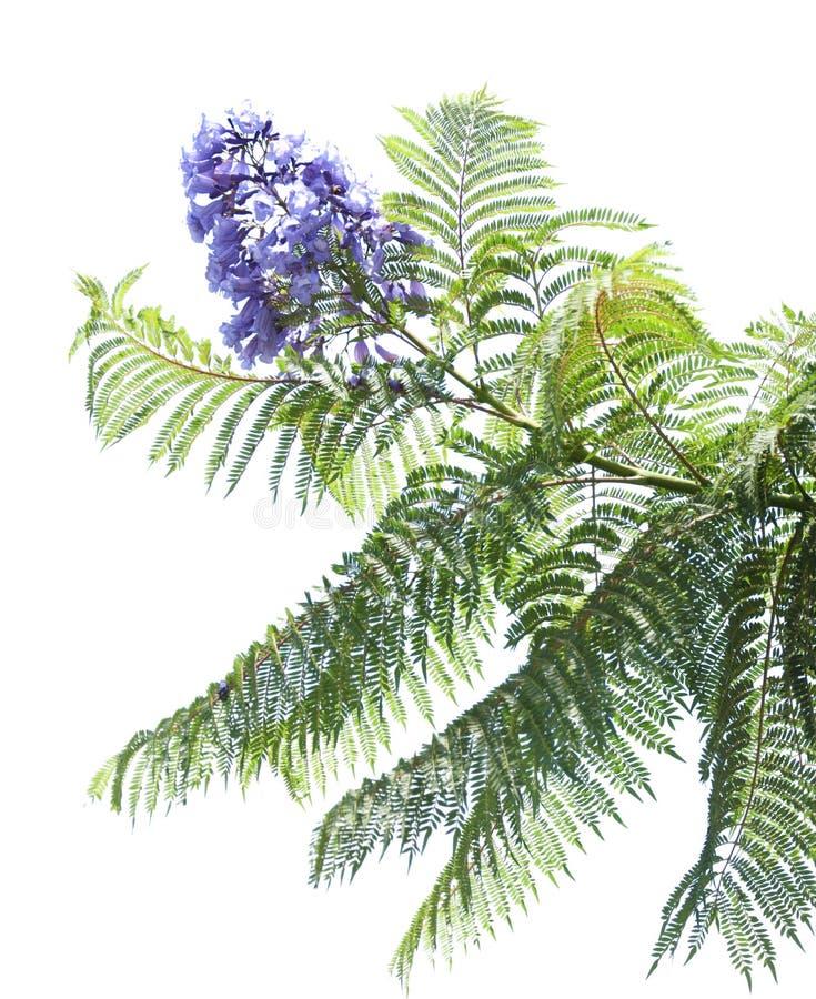 兰花楹属植物mimosifolia 图库摄影