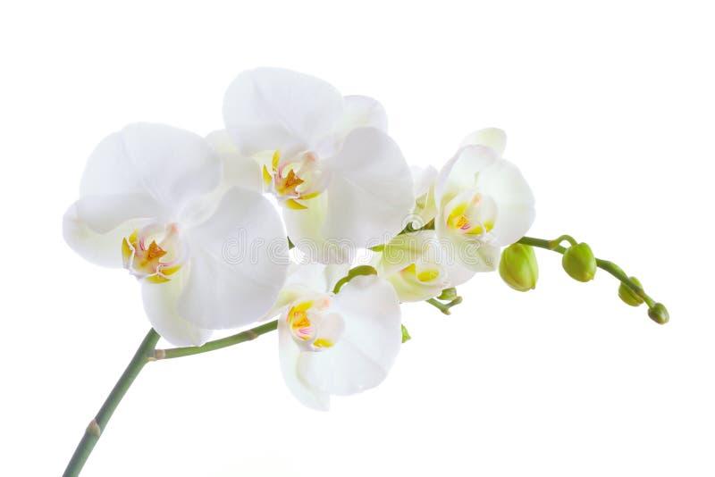 兰花白色 图库摄影